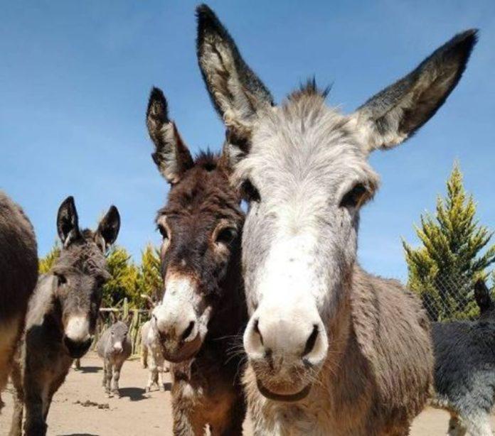 Burrolandia, el santuario de burros en México