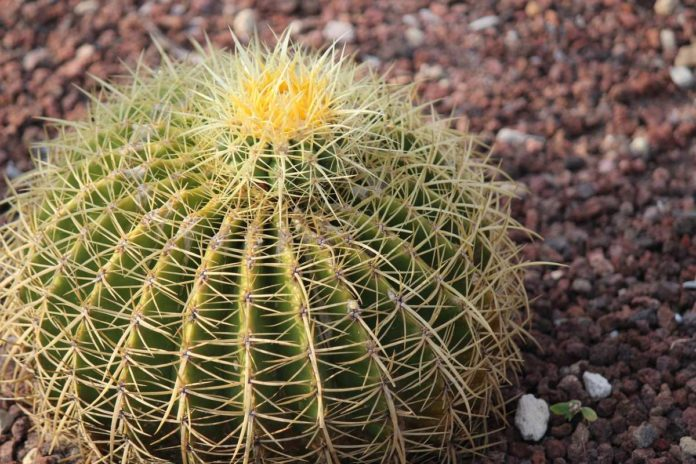 Cabuche, la joya gastronómica del desierto mexicano