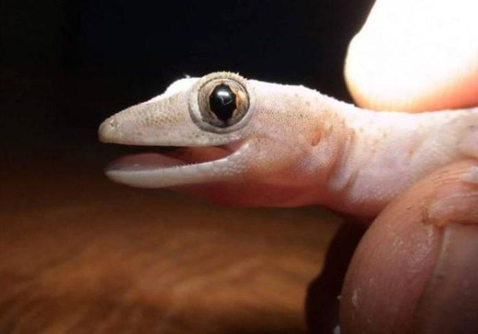 Cuija, la lagartija besucona y cantarina del sureste mexicano