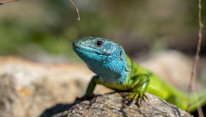 Dragoncito azul mexicano, el reptil que parece de fantasía