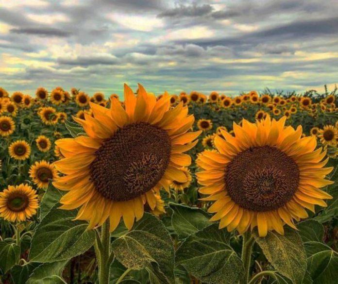 Girasol, la flor originaria de México que cautivó a Van Gogh