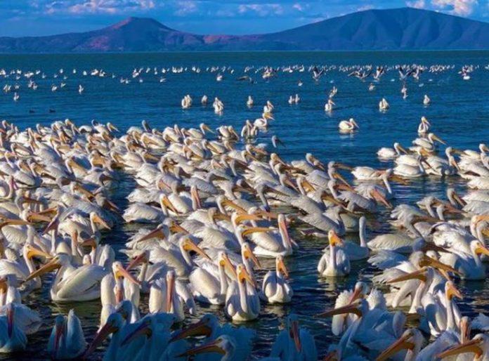 Pelicanos borregones, un espectáculo invernal en el lago de Chapala