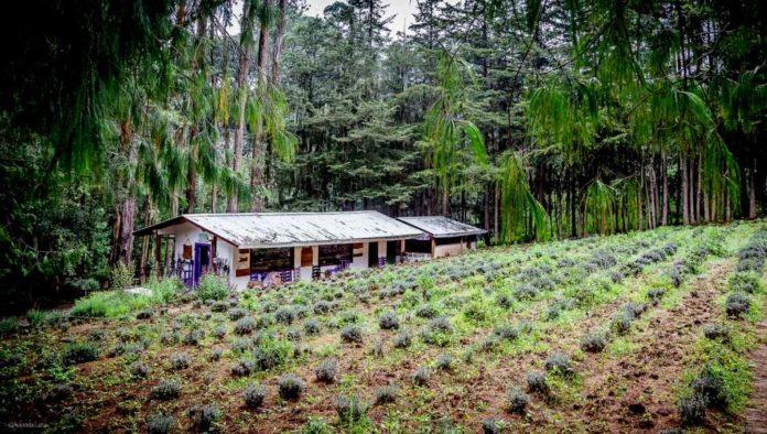 Rancho San Martín: campos de lavanda para extraer su esencia, en Puebla