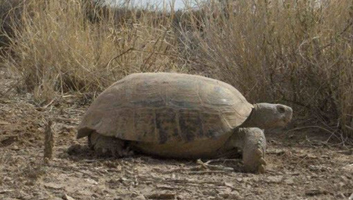7 datos que no sabías de la tortuga del Bolsón de Mapimí