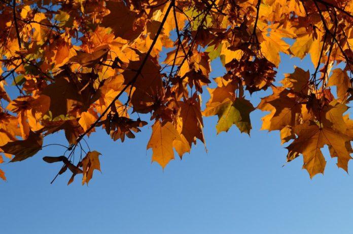 Bosque de Maple, el colorido otoño de Talpa, Jalisco