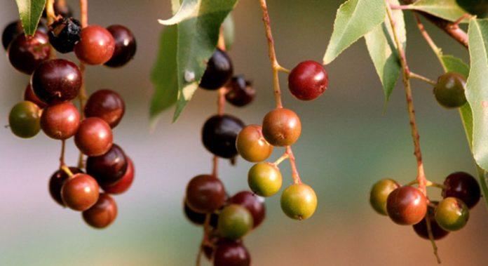 Capulín: propiedades del cerezo mexicano