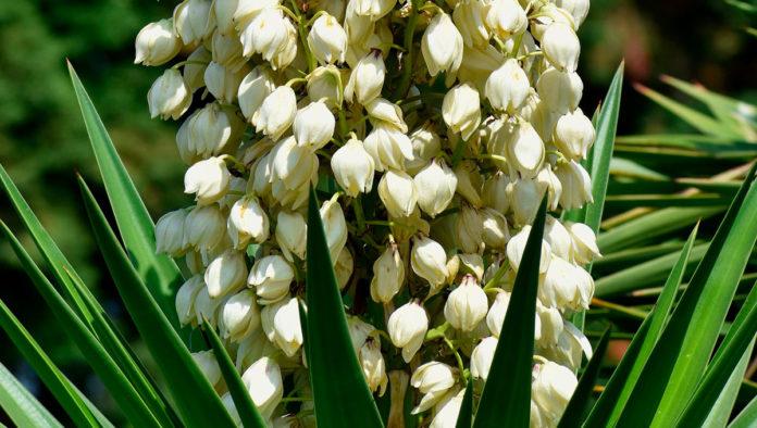 flor de izote