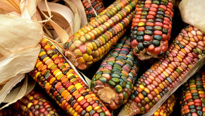 El maravilloso maíz gema de cristal que refleja los colores del arcoíris