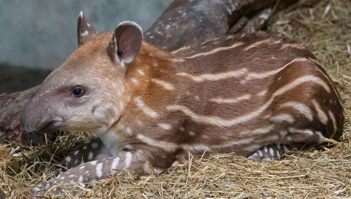 tapir mexicano 5 datos que no sabías