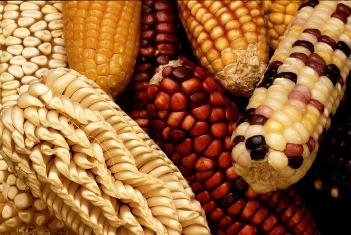 Tesgüino: la deliciosa cerveza ancestral hecha a base de maíz