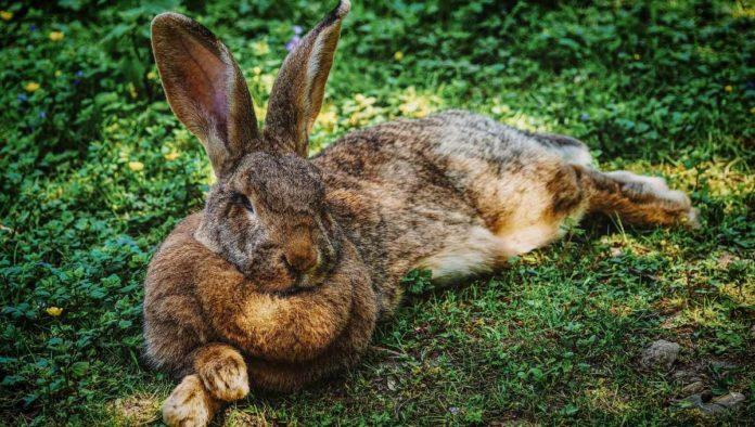 Centzon totochtin los 400 conejos