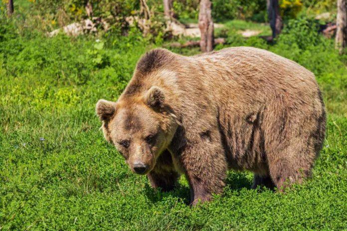 Video: ¿Baloo, eres tú? Captan a oso bailando en la calle y se hace viral