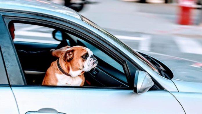 perro viaje auto