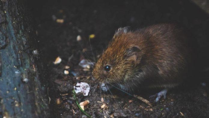 plaga de ratones