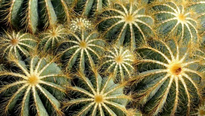 Tráfico ilegal de cactus