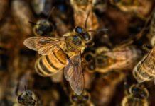 abejas africanas
