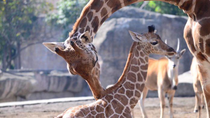bebé jirafa