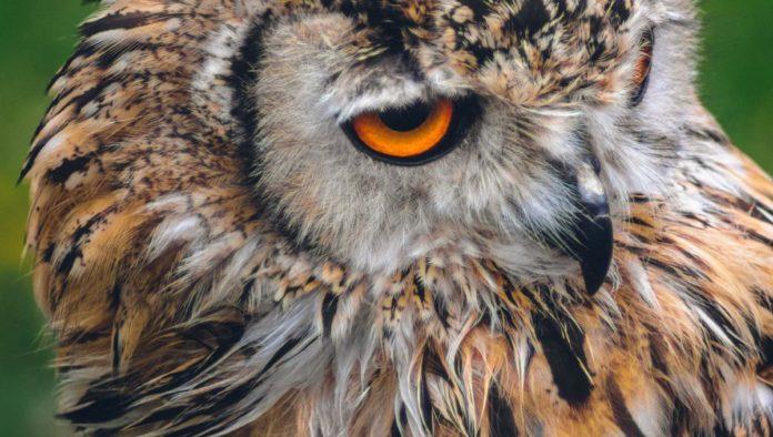 Búho asiático de ojos naranja Malasi
