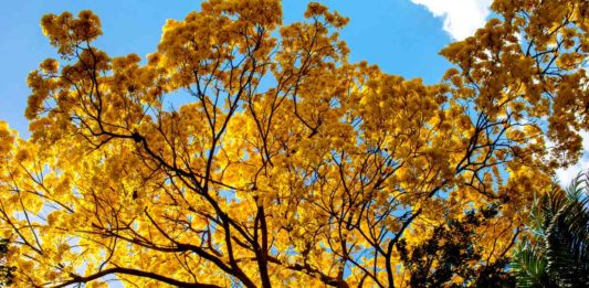 Guayacán árbol endémico Sonora