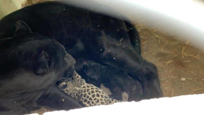 jaguar cachorros san luis potosí