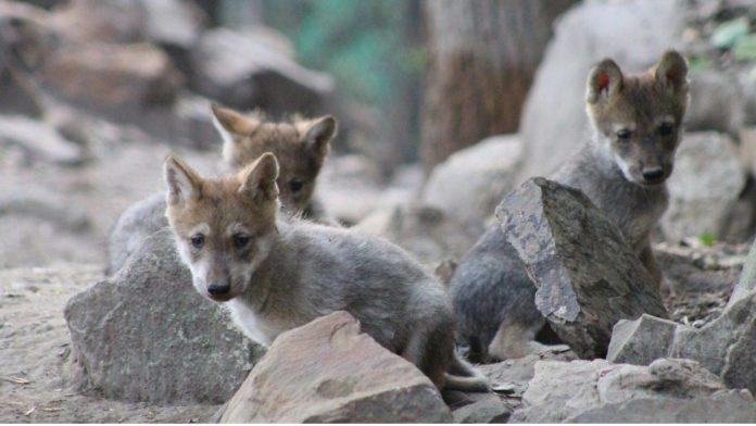 lobos mexicanos