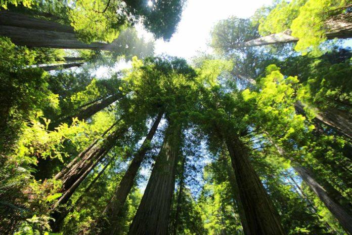 ¿Miedo a las altura? Camina por una pasarela de altura en Redwood Sky Walk