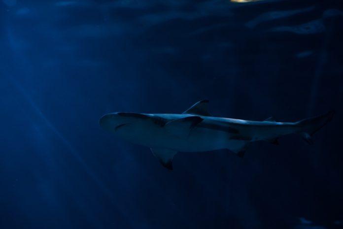 Video: Captan a tiburón gigante en las aguas del Atlántico