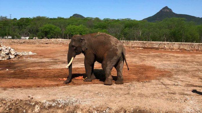 big boy elefante