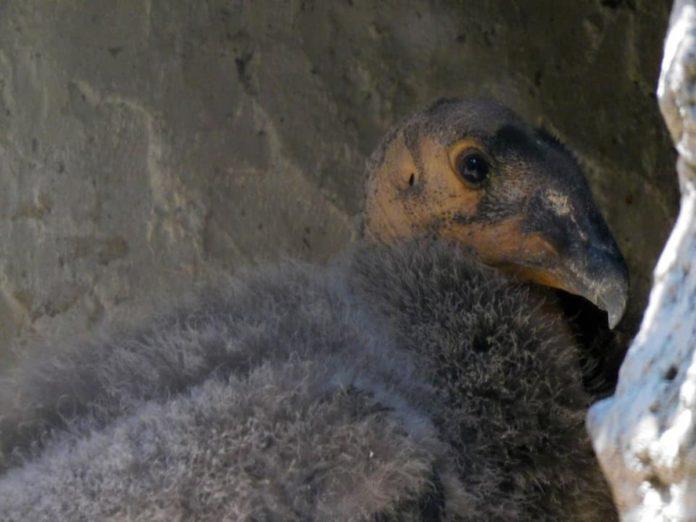 Nacen dos crías del cóndor de California en el Zoológico de Chapultepec
