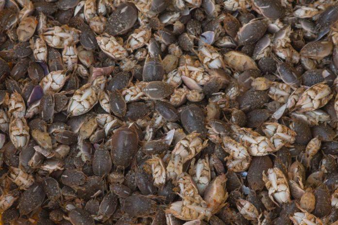 Chiquiliques, los diminutos cangrejos que son una delicia de Guerrero
