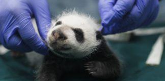 Gemelitas panda