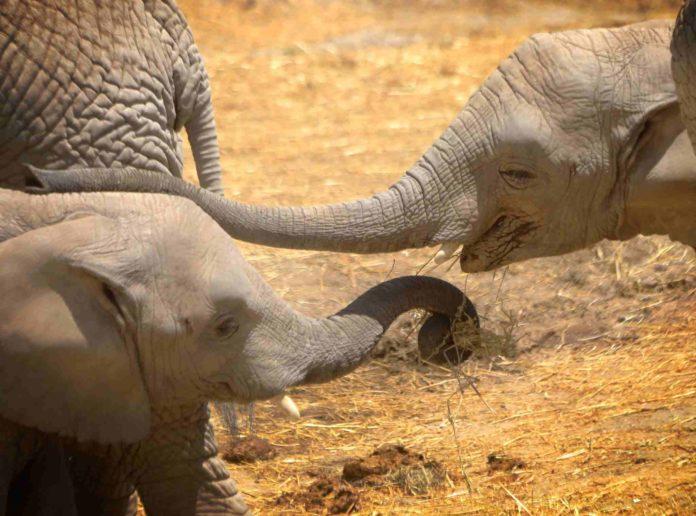 Lester, el bebé elefante de Africam Safari que te hará suspirar