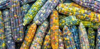 ¿Un maíz de colores? Así es la variante Gema de Cristal