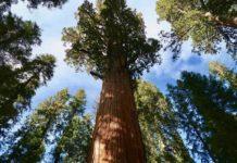 Así protegieron el árbol más grande del mundo para cuidarlo de incendios