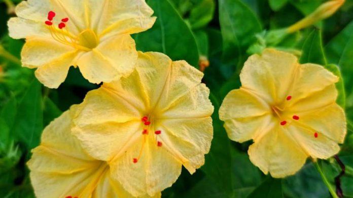 planta medicinal