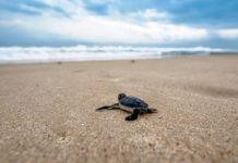 liberar tortugas